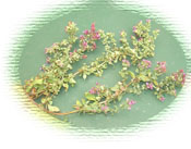 Oregano from the garden